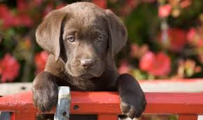 chocolate lab puppies wallpaper. Perfect Chocolate Chocolate Labrador Puppy Waiting To Go Potty To Chocolate Lab Puppies Wallpaper A