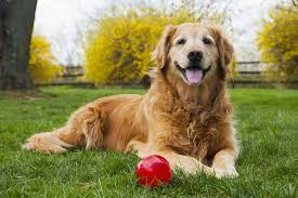 red golden retriever. Delighful Red Table  On Red Golden Retriever