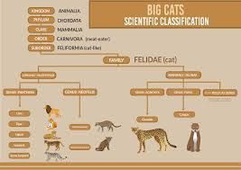 Big Cats Biological Classification Taxonomy