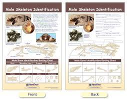 bone identification chart w94 4618 mole skeleton identification bulletin board chart