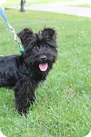 scottish terrier mix. Perfect Terrier Adopted Inside Scottish Terrier Mix