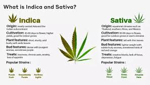 Sativa And Indica Chart Sativa Strain Cbd 15 Cannabis Strains High In