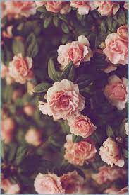 Garden Roses, Flower, Pink, Rose, Petal ...
