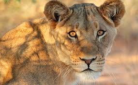 lioness. Contemporary Lioness Lioness Intended O