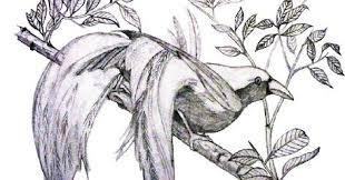 Download now mewarnai sketsa gambar burung cendrawasih yang mudah terbaru. Burung Cendrawasih Hitam Putih Gambar Burung Burung Sketsa