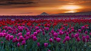 Flower Landscapes Field Tulips Hill Flowers Hills Fields Skies Sky Pink Nature Red