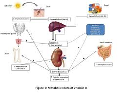 metabolic route of vitamin d
