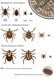 Cdc Tick Identification Chart Tick Id Tick Borne Diseases Ticks Cdc