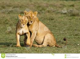 lioness and lion cuddle. Plain And Lions Cuddling Intended Lioness And Lion Cuddle E