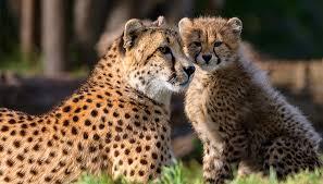 African cheetah   San Diego Zoo Kids