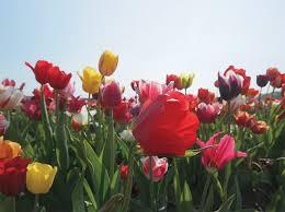 visit the tulip festival at holland ridge farms