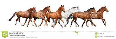 wild white horses running free. Interesting Horses Download Herd Of Wild Horses Running Free On White Background Stock Image   Of Free And C