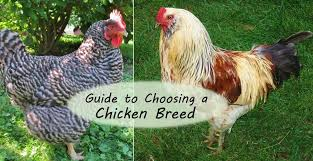 Guide To Choosing Chicken Breeds Pick The Best Breeds For