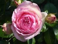 نتيجة بحث الصور عن rosa eden