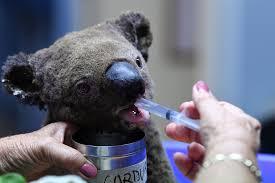Animal Black Light Burns Saving The Fire Victims Who Cannot Flee Australias Koalas