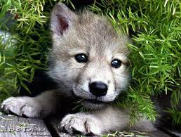 too cute this could be a pic of killian my timber wolf husky when he was a pup