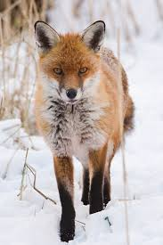 fox pictures to print. Beautiful Print Red Fox In The Snow Print On Pictures To NT Nature Photos  WordPresscom