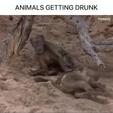 Radwan Omar - <b>ANIMALS</b> GETTING <b>DRUNK</b> | Facebook