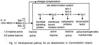 process of sex determination in different species essay biology developmental pathway for sex determination