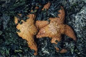 How Do Starfish Get Away From Their Predators Animals