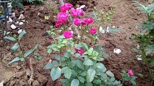 how to grow and care on rose in hindi and urdu bokaro garden