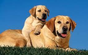 couple, Labrador Retriever, puppy, sit ...