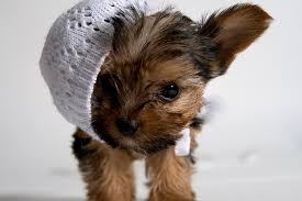 teacup puppy yorkie. Modren Puppy Photo Credit Getty Images Throughout Teacup Puppy Yorkie M