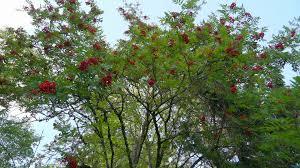 Is It Assur To Chop Down A Fruit Bearing Tree  Vaad Harabonim Of Tree Bearing Fruit