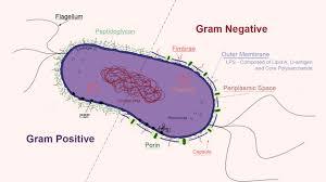 Gram Negative Bacteria Chart Gram Negative Bacteria Microbiology Medbullets Step 1