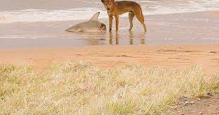 Welcome Album Are Having While Snakes Imgur Eating - 2 Sex Shark Australia A Dingo To On