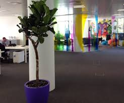 office plant displays. Plant Displays Can Make All The Difference To How An Office Looks And Feels. That\u0027s What FNZ Found When Nature At Work Installed 3 Big Impact Ficus