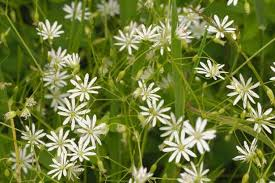 getting rid of chickweed. Contemporary Rid Lesser Stitchwort Or Chickweed Flowers With Getting Rid Of