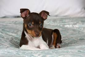 Image result for rat terrier