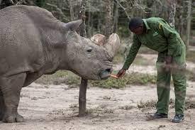 أطباء ينجحون في استخراج بويضات من آخر أنثيَين من وحيد القرن الأبيض قد تنقذ  هذه الفصيلة