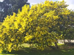 Come dipingere fiori & alberi la pittura è una presa di corrente artistica, che chiunque può godere. A Lamezia Alberi Di Mimosa In Fiore Nei Giorni Della Merla Gazzetta Del Sud