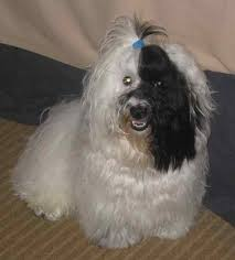 Small Picture 21 best Havanese images on Pinterest