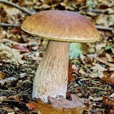 Видеоурок Съедобные и несъедобные грибы по предмету Окружающий  Следующий гриб подосиновик который