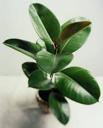 feng shui plants for office. Feng Shui Plants For Office. Rubber Plant Office N