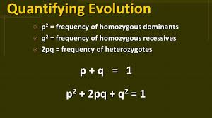 5 Quantifying Evolution  p 2 = frequency of homozygous dominants  q 2 =  frequency of homozygous recessives  2pq = frequency of heterozygotes p + q  = 1 ...