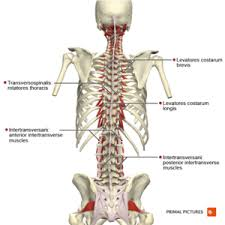 Multifidus muscle lies deep to the semispinalis and spans the whole length of the vertebral column, it is most developed in the lumbar region. Thoracic Anatomy Physiopedia