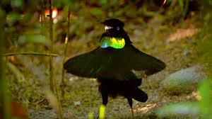 bird of paradise appearances count attraction bbc earth