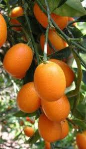 Seed Wholesaler Picture  More Detailed Picture About Free Small Orange Fruit On Tree