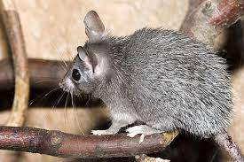 Rodents Lower Classifications The Cairo Spiny Mouse Acomys Cahirinus By Desertusa