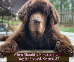 Newfie Puppy Growth Chart When Should A Newfoundland Dog Be Spayed Or Neutered My