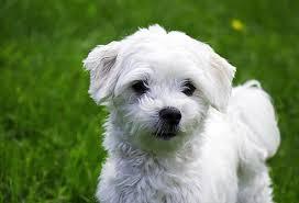 silky dog white. maltese silky dog white