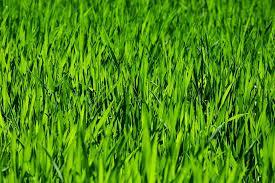 green grass field. Grass Field Meadow Rush Growth Plant Nature Green