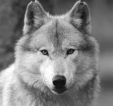 wolf face black and white. Fine Black Black And White Wolf Face  Photo1 Inside Wolf Face And White