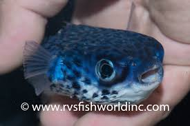the blue pufferfish is even more