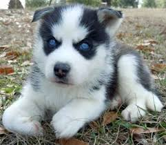 cute husky puppies with blue eyes. Delighful Blue Next Cute Blue Eyes Siberian Husky Puppy  On Puppies With A