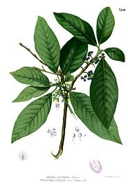 Lauraceae - Wikipedia
